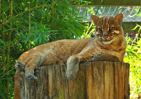 Résultats de recherche d'images pour «chat doré d'afrique»